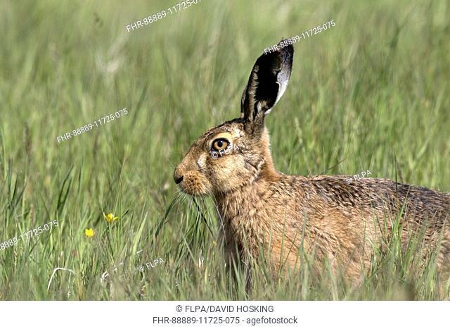 Brown Hare at Deepdale Marsh Norfolk