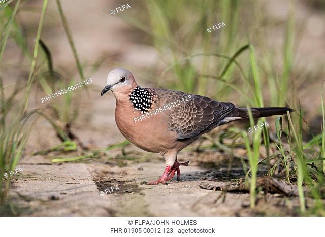 Spotted Dove (Spilopelia chinensis) adult, walking on ground, Hong Kong, China, September