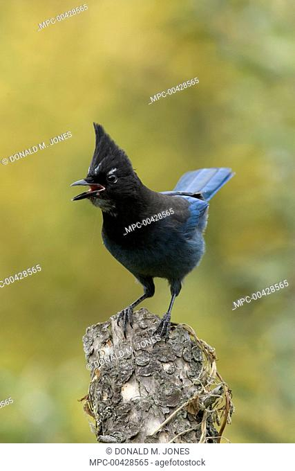 Steller's Jay (Cyanocitta stelleri) calling, western Montana