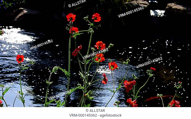WEATHERED RED GEUM BLAZING SUNSET FLOWERS & KOI CARP; SCARBOROUGH, NORTH YORKSHIRE, ENGLAND; 01/06/2014