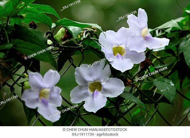 close-up of flowers, growing on garden fence