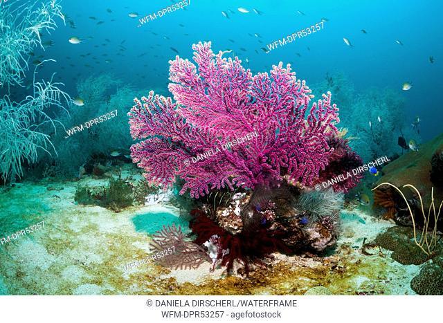 Red Seafan, Echinogorgia noumea, Triton Bay, West Papua, Indonesia