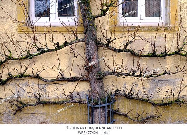Blattloser Spalierobstbaum als waagerechte Palmette an einer Hauswand im Winter. Querformat. Leafless espalier tree as horizontal palmette in front of an old...