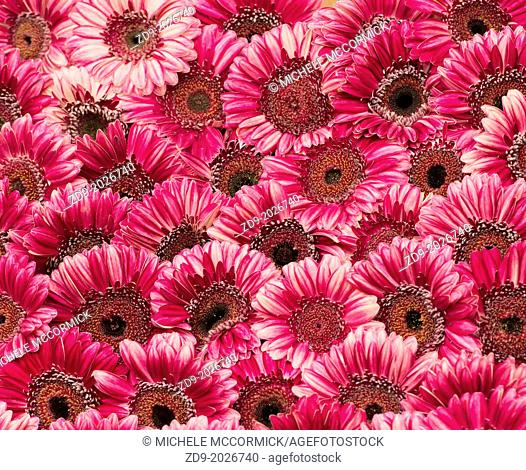 Hot pink gerbera daisies are a day brightener