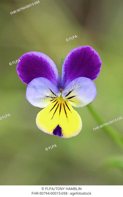 Wild Pansy Viola tricolor close-up of flower, England