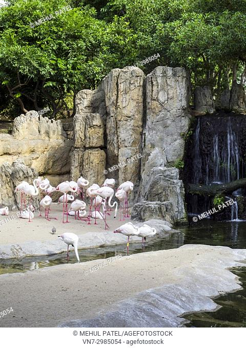 Greater flamingos (Phoenicopterus roseus) in the natural animal park, Bioparc Valencia, Spain. The Greater flamingos share a multispecie enclosure designed to...