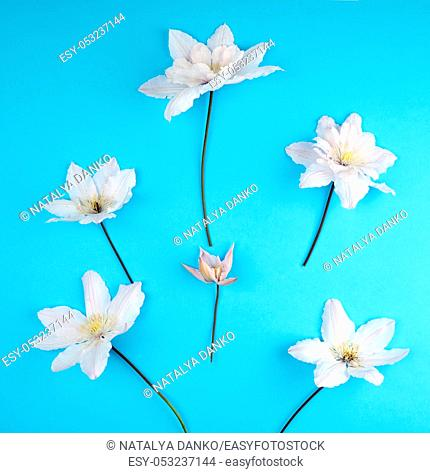 white flowers and green leaves of clematis on a blue background, top view