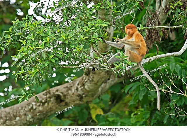 Nasalis larvatus , Proboscis Monkey