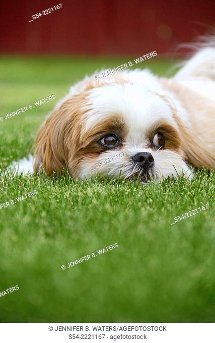 A Maltese Shih Tzu dog outdoors in the grass