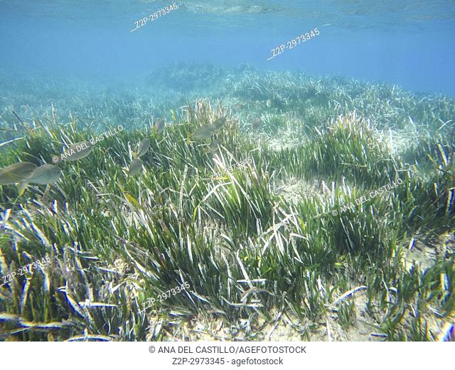 Underwater image in Cabo de Gata nature reserve in Almeria, Andalusia, Spain. Posidonia oceanica seagrass, Neptune grass or Mediterranean tapeweed