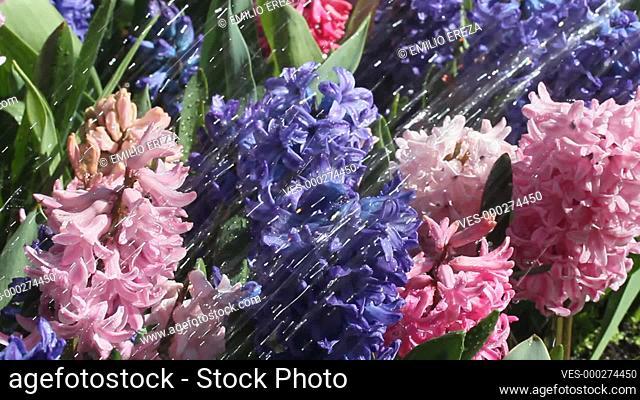 Watering hyacinths