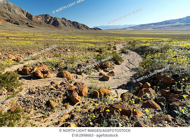 USA, CA, Death Valley. Desert sunflowers in bloom surround dry river bed in the Black Mountains near Ashford Mill. geraea canescens
