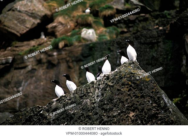 ALCA TORDARAZORBILL - RAZOR-BILLED AUKGROUP ON CLIFFFOULA - SHETLAND