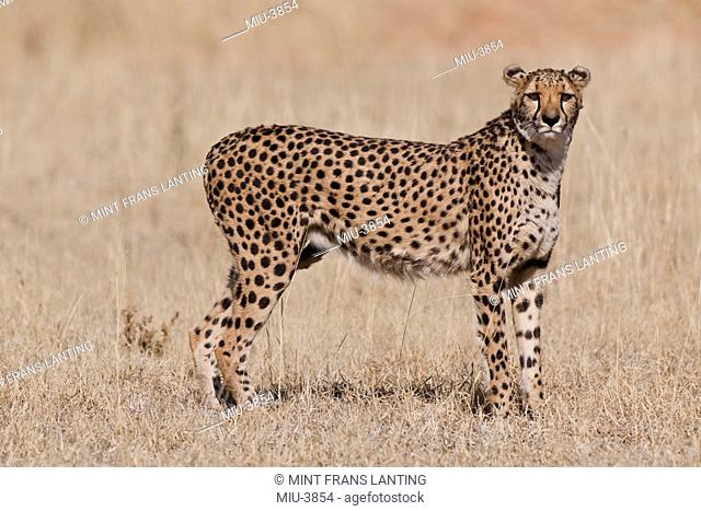 Cheetah, Acinonyx jubatus, Cheetah Conservation Fund, Namibia