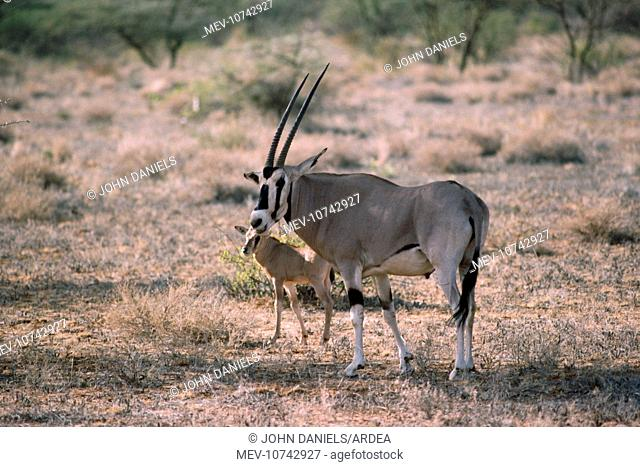 Beisa Oryx - with young (Oryx Beisa)