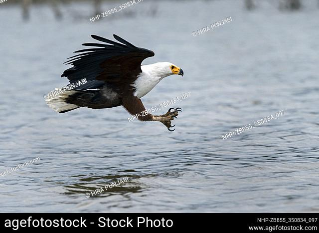 African fish eagle (Haliaeetus vocifer), diving in Lake Naivasha, Kenya