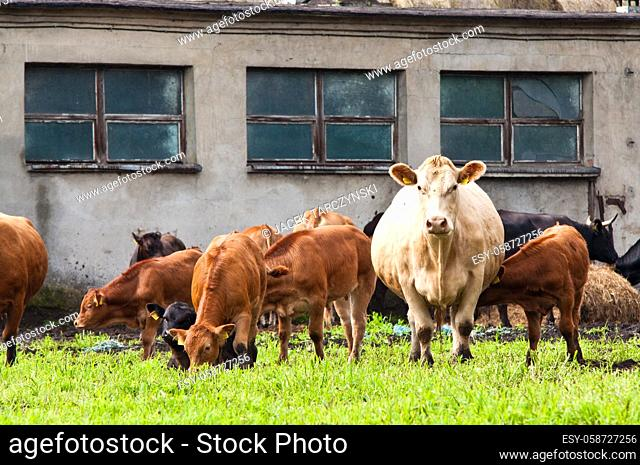 young and mature cows on dairy farm