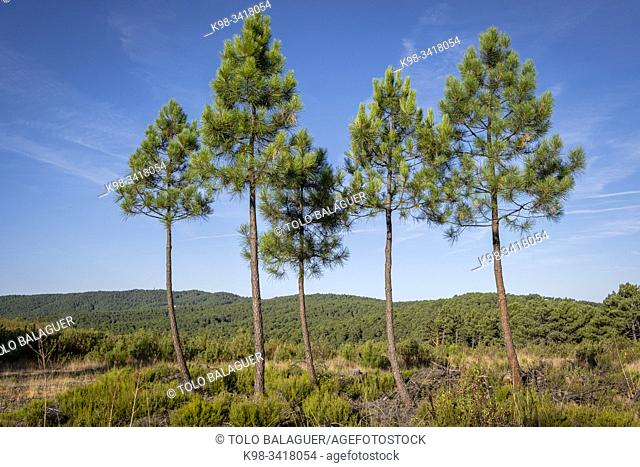 repopulation of Scots pine forest, Pinus sylvestris, Navaleno, Soria, Autonomous Community of Castile-Leon, Spain, Europe