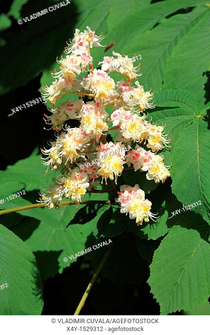 Horse chestnut Aesculus hippocastanum in bloom  Location: Male Karpaty, Slovakia