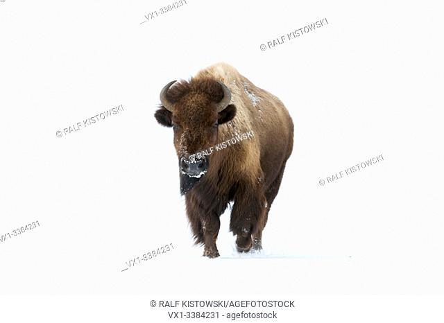 American bison (Bison bison) in winter, adult female, running directly towards the photographer, frontal view, Yellowstone area, Wyoming, USA.