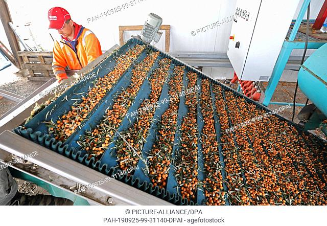 25 September 2019, Mecklenburg-Western Pomerania: Gregor Sznejkowski is working on the plant that separates the shock-frozen sea buckthorn from the branches and...