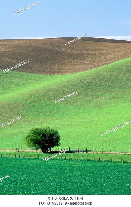 washington, tree, palouse, wheat, fields, lonely