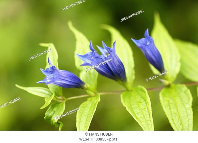 Willow gentian, Gentiana asclepiadea, close-up