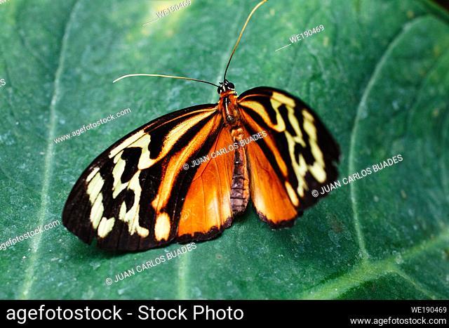 Isabella's longwing (Eueides isabella)