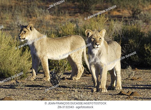 African lions (Panthera leo), two young males standing, curious, Kgalagadi Transfrontier Park, Northern Cape, South Africa, Africa