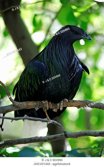 Nicobar Pigeon,Caloenas nicobarica,India,Asia,adult on tree