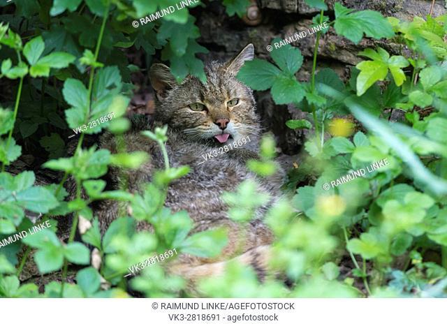 Wildcat, Felis silvestris, Tomcat, Germany