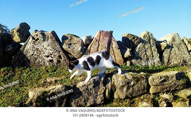 Kitten walking through ruins of mill, Escurial, Extremadura, Spain