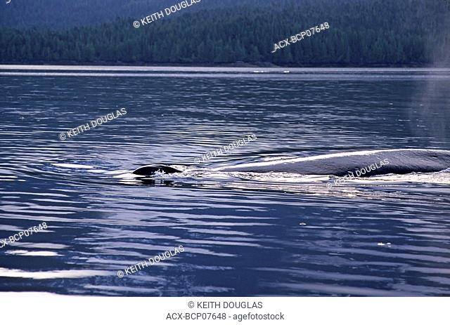 Humpback whale, Work Channel, British Columbia, Canada