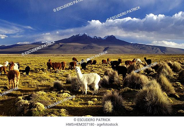 Bolivia, Oruro Department, Sajama Province, Sajama National Park, alpacas in the high plateau's prairie