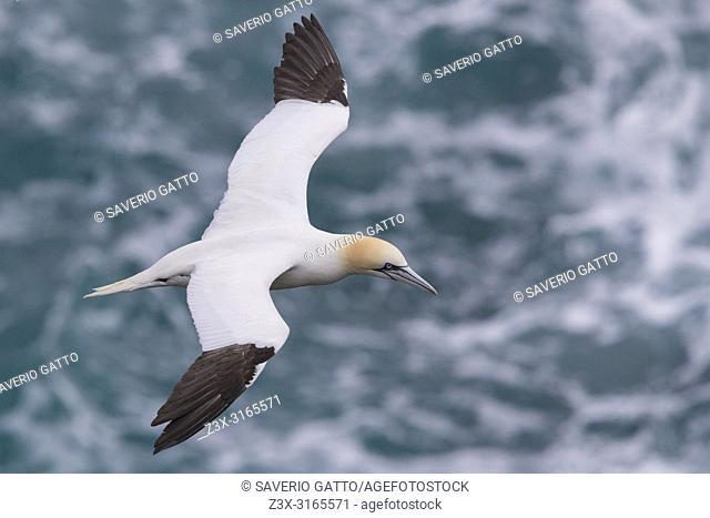 Northern Gannet (Morus bassanus), adult in flight over the sea