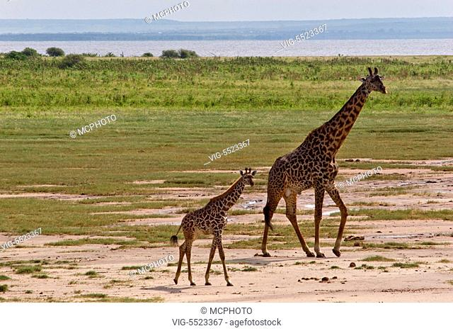 A mother and baby MASAI GIRAFFE (Giraffa camelopardalis tippelskirchi) - LAKE MANYARA NATIONAL PARK, TANZANIA - 01/01/2016