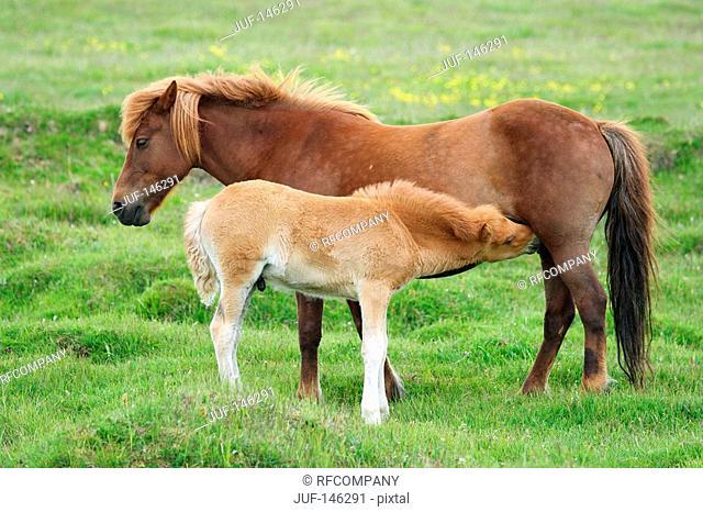 Icelandic horse - mare suckling foal