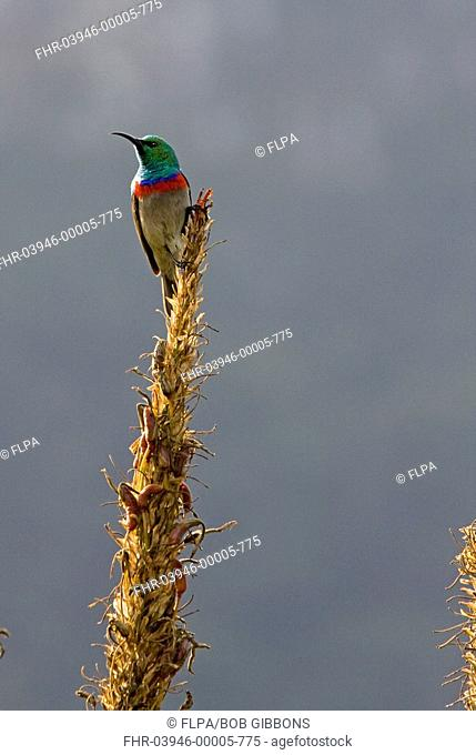 Southern Double-collared Sunbird Cinnyris chalybeus adult male, perched on flowerhead in fynbos, Cape, South Africa