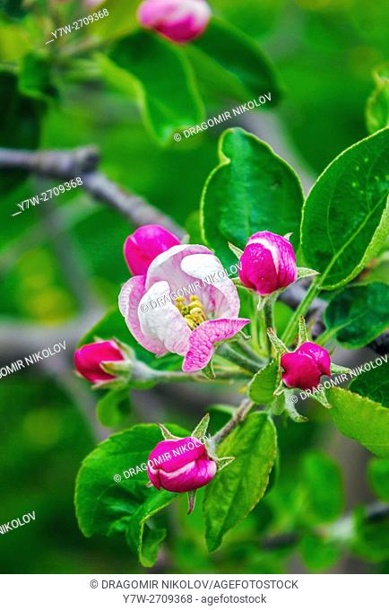 Apple tree blossom. Spring in Bulgaria, Europe