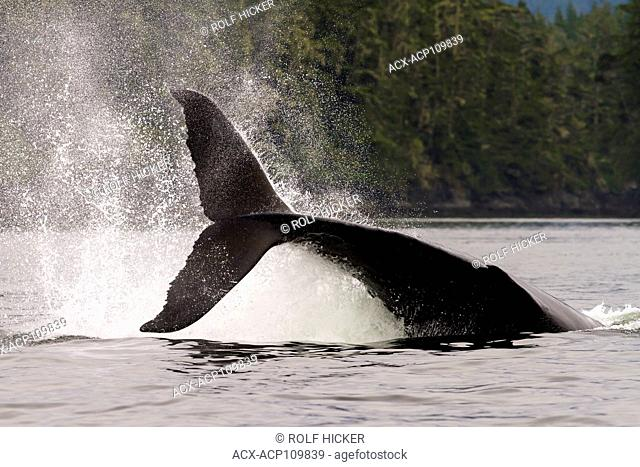 A large male humpback whale hitting his large tail fluke onto the water, aka tail slapping, in Knight Inlet, British Columbia, Canada