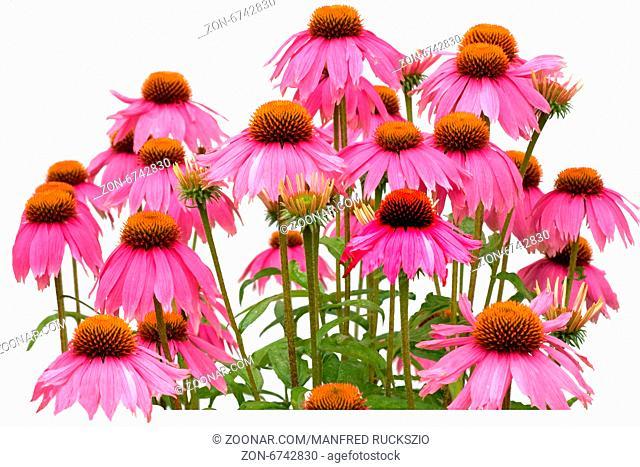 Roter Sonnenhut; Echinacea; purpurea;