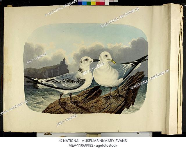 The Kittiwake gull, immature and adult (Rissa tridactyla). Parker, Richard Dunscombe 1805 - 1881