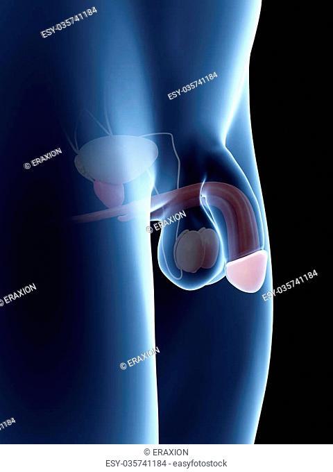 Anatomy illustration of the penis - glans