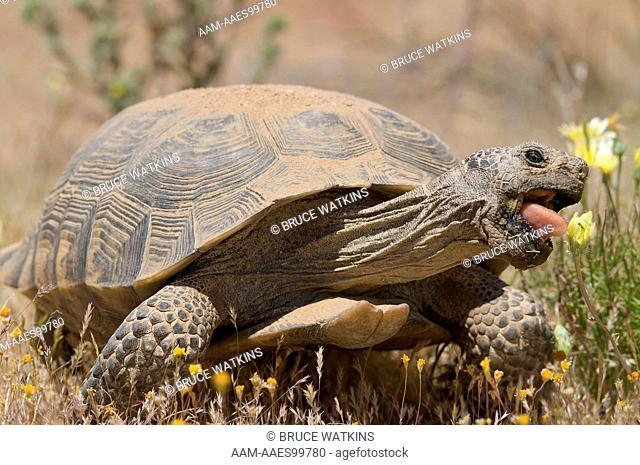 Desert Tortoise (Gopherus agassizii) large, adult, male, feeding on Desert Dandelion (Malacothrix glabrata) Desert Tortoise Natural Area, Kern County
