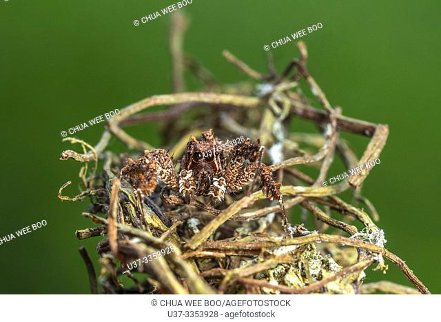 Jumping spider found at Kampung Skudup, Sarawak, Malaysia