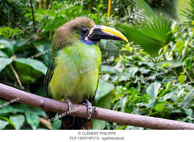 Blue-throated toucanet (Aulacorhynchus caeruleogularis) native to Costa Rica, Panama and Colombia