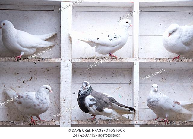 Pigeons in the coop, Bushmills, N.Ireland, United Kingdom