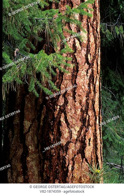 Ponderosa pine, Okanogan National Forest, Washington
