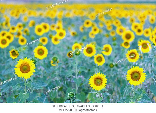 A field of sunflower in bloom in a cloudy day's dim light, Provence, France