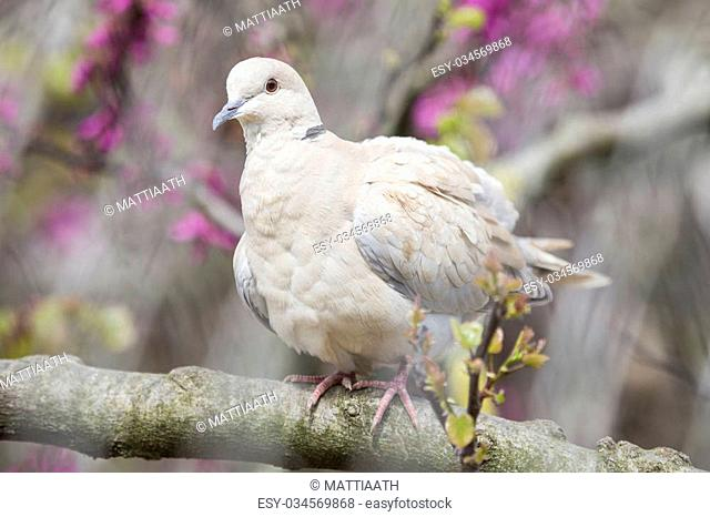 Eurasian collared dove, Streptopelia decaocto, perched on a branch of a peach tree in blossoms